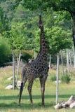 Het eten van de giraf Stock Foto's