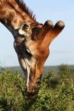 Het Eten van de giraf Royalty-vrije Stock Afbeeldingen