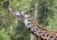 Het eten van de giraf stock afbeelding