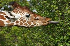 Het eten van de giraf doorbladert Royalty-vrije Stock Foto