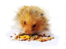 Het eten van de hamster royalty-vrije stock foto's