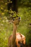 Het eten van de impala Stock Foto