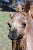 Het eten van de kameel Royalty-vrije Stock Afbeelding