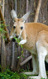 Het eten van de kangoeroe Stock Foto