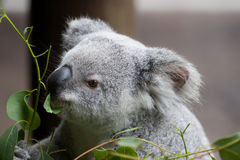 Het Eten van de koala stock foto's