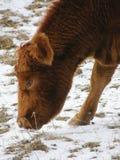 Het eten van de koe Royalty-vrije Stock Afbeelding