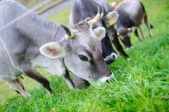 Het eten van de koe Royalty-vrije Stock Foto