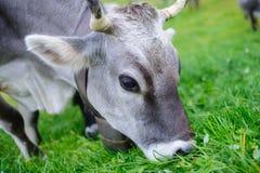 Het eten van de koe Stock Foto's