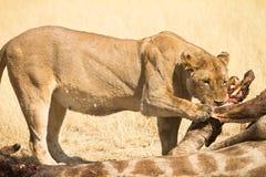 Het eten van de leeuw Royalty-vrije Stock Foto