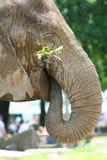 Het eten van de olifant Royalty-vrije Stock Fotografie