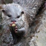 Het eten van de otter Royalty-vrije Stock Foto's