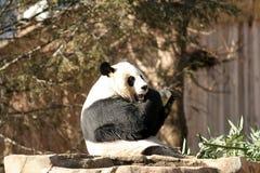 Het eten van de panda Stock Afbeelding