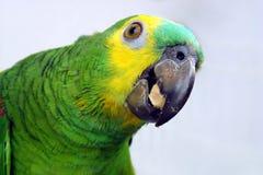 Het eten van de papegaai royalty-vrije stock foto's