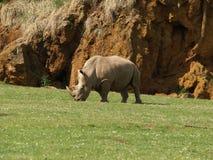Het eten van de rinoceros Stock Fotografie