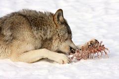 Het eten van de wolf royalty-vrije stock foto