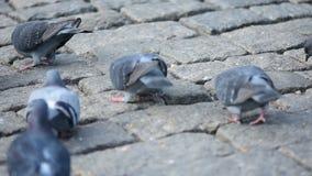 Het eten van duiven op straat stock footage