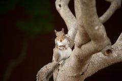 Het eten van eekhoorn Royalty-vrije Stock Foto
