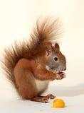 Het eten van eekhoorn Stock Fotografie