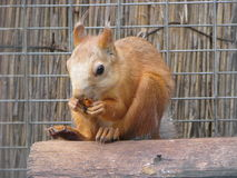 Het eten van eekhoorn Royalty-vrije Stock Afbeeldingen