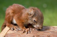 Het eten van eekhoornbaby Royalty-vrije Stock Foto's