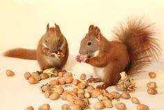 Het eten van eekhoorns Royalty-vrije Stock Afbeelding