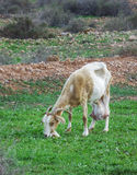 Het eten van geit in Fuerteventura Stock Foto