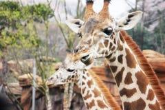 Het eten van giraf Royalty-vrije Stock Foto's