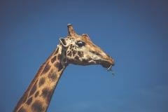 Het eten van giraf op safari wilde aandrijving Royalty-vrije Stock Foto's