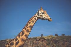 Het eten van giraf op safari wilde aandrijving Royalty-vrije Stock Foto