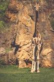 Het eten van giraf op safari wilde aandrijving Royalty-vrije Stock Afbeelding