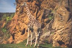 Het eten van giraf op safari wilde aandrijving Stock Fotografie