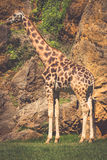 Het eten van giraf op safari wilde aandrijving Stock Foto