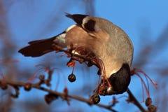 Het eten van Goudvink op de boom Stock Fotografie