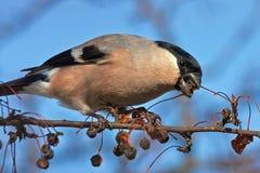 Het eten van Goudvink op de boom Royalty-vrije Stock Foto's