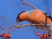 Het eten van Goudvink op de boom Royalty-vrije Stock Foto