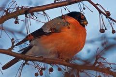 Het eten van Goudvink op de boom Stock Afbeeldingen