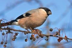 Het eten van Goudvink op de boom Stock Foto