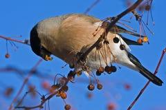 Het eten van Goudvink op de boom Stock Foto's