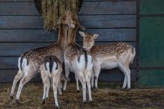 Het eten van herten Royalty-vrije Stock Foto