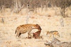Het eten van Hyaena en van de Jakhals Royalty-vrije Stock Foto