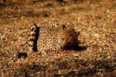 Het eten van jachtluipaard Stock Foto