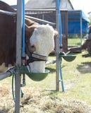 Het eten van koe royalty-vrije stock fotografie