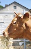 Het eten van koe Royalty-vrije Stock Foto's