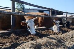 Het eten van koeien royalty-vrije stock afbeelding