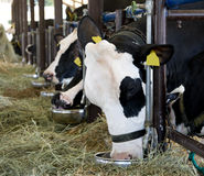 Het eten van koeien Stock Foto's