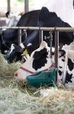Het eten van koeien Stock Foto