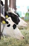 Het eten van koeien Royalty-vrije Stock Foto's