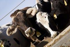 Het Eten van koeien Royalty-vrije Stock Afbeeldingen