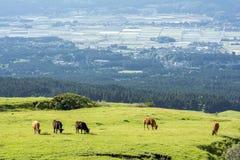 Het eten van koeien op weiland Royalty-vrije Stock Fotografie