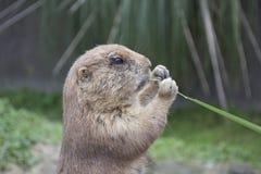 Het eten van marmot royalty-vrije stock foto's